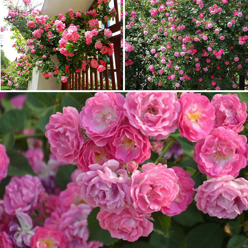 100pcs Climbing Rose Seeds Perennial Flower Home Wedding Garden Decor